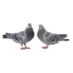 Tauben gehen eine lebenslange Partnerschaft ein
