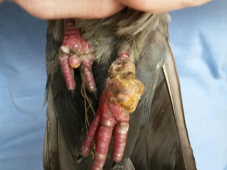 Taube Stegi eingefangen - Füße zusammengebunden