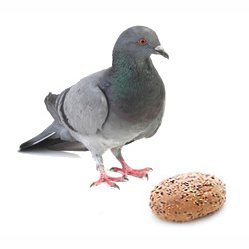 Taube mit Brot