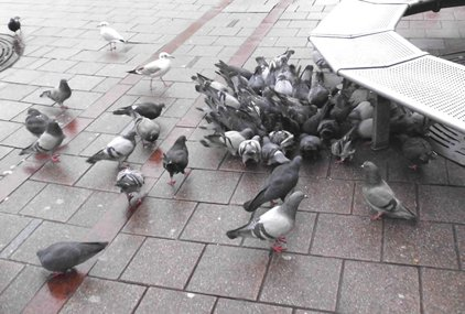 Tauben Fussgänger