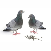 Tauben sind Körnerfresser