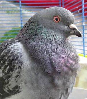 erwachsene Taube