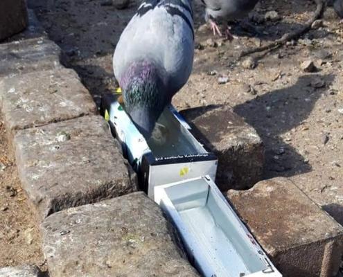 Tauben trinken