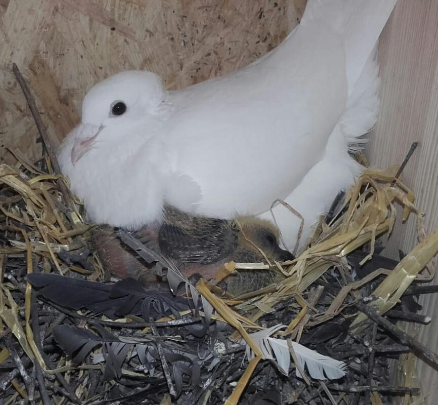Taube im Nest